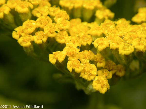 <i>Achillea</i> x &#8216;Coronation Gold&#8217;
