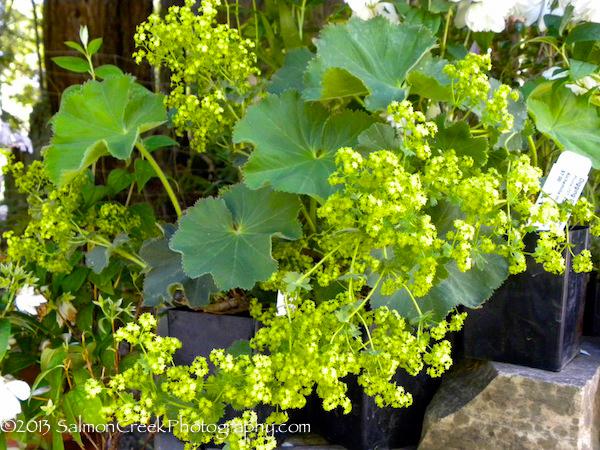 alchemilla mollis robusta at digging dog nursery. Black Bedroom Furniture Sets. Home Design Ideas