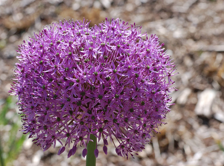 Allium Gladiator