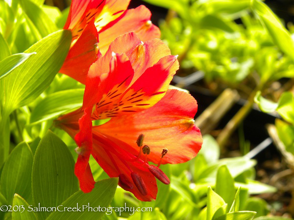 <i>Alstroemeria</i> &#8216;Red Valley&#8217;