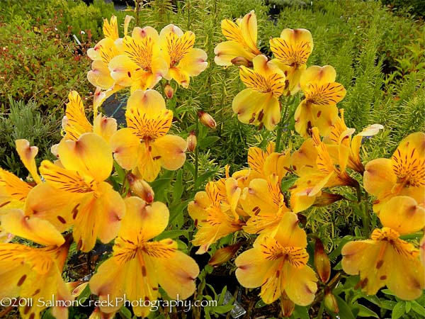 Alstroemeria violacea 'Yellow Friendship'