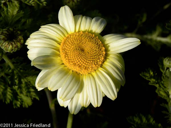 <i>Anthemis</i> &#8216;Susanna Mitchell&#8217;