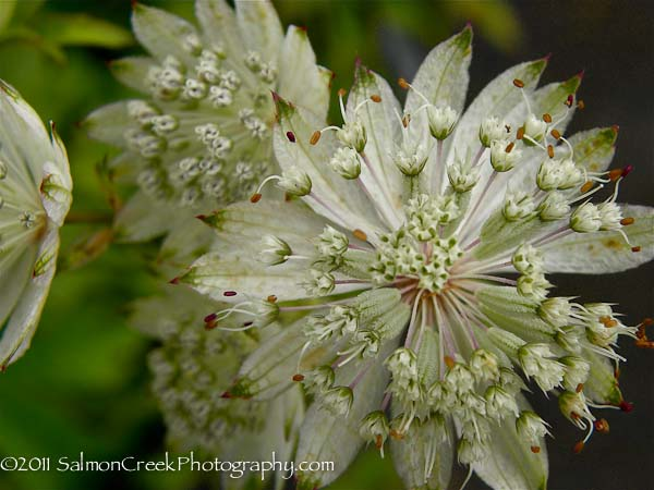 Astrantia major ssp. involucrata Shaggy