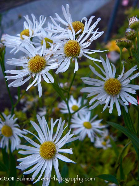 Boltonia asteroides Snowbank