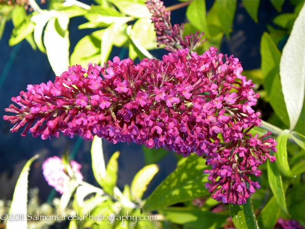 Buddleja davidii Summer Beauty