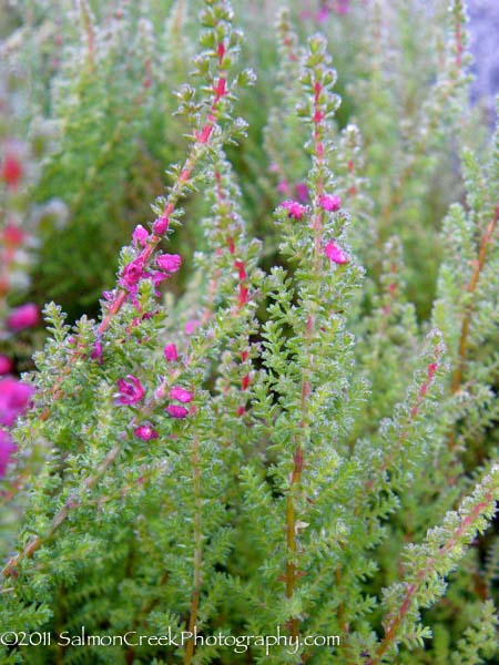 Calluna Vulgaris Corbett S Red At Digging Dog Nursery