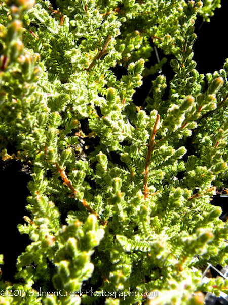<i>Calluna vulgaris</i> &#8216;Dark Beauty&#8217;
