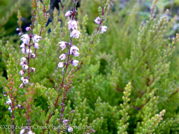 Calluna Vulgaris Spring Torch At Digging Dog Nursery