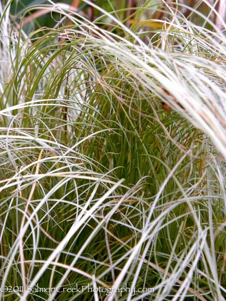 Carex albula Frosted Curls