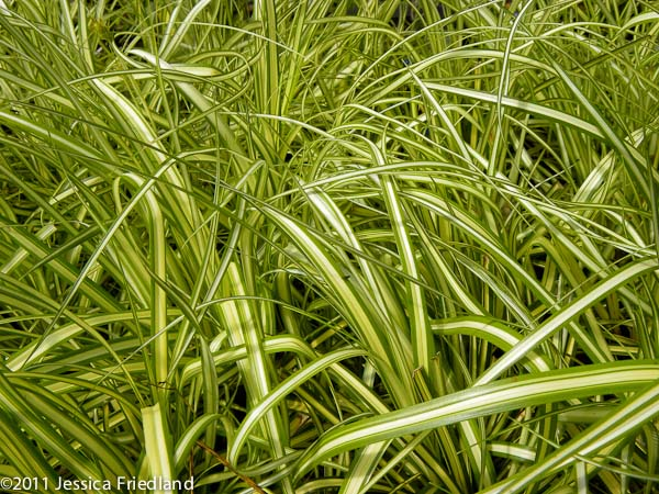 Carex oshimensis Gold Strike
