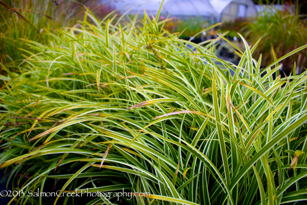 <i>Carex morrowii</i> &#8216;Ice Dance&#8217;