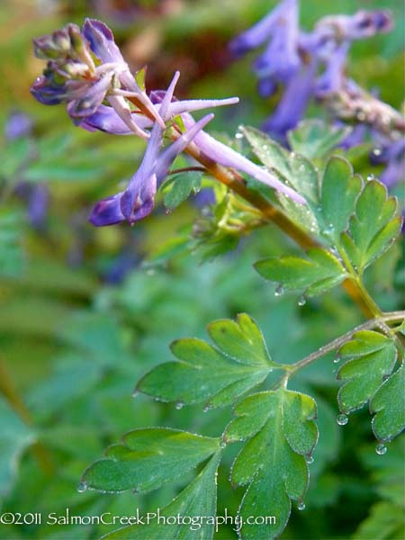 Corydalis  Blackberry Wine