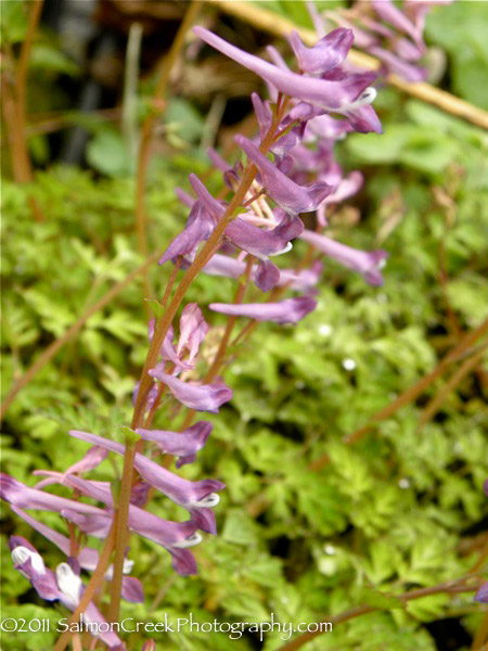 <i>Corydalis</i> &#8216;Blackberry Wine&#8217;