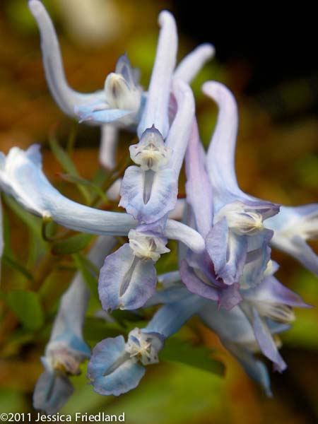 Corydalis flexuosa Pere David