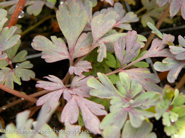 Corydalis flexuosa Purple Leaf