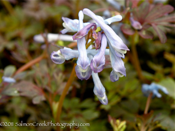 <i>Corydalis flexuosa</i> &#8216;Purple Leaf&#8217;