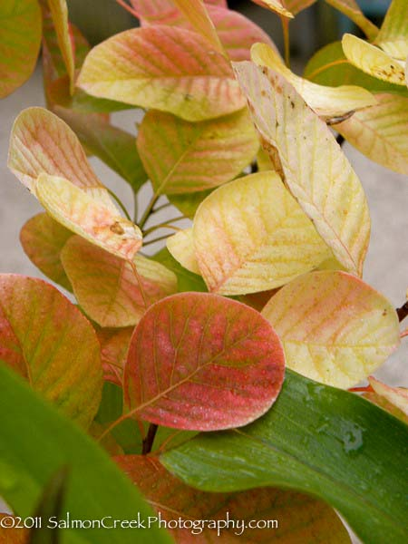 Cotinus 'Golden Spirit'