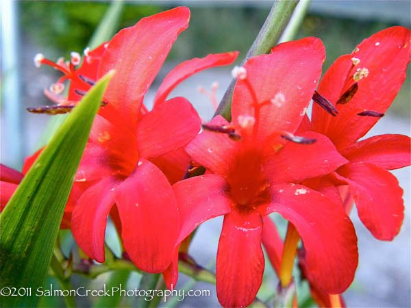 <i>Crocosmia</i> &#8216;Lucifer&#8217;