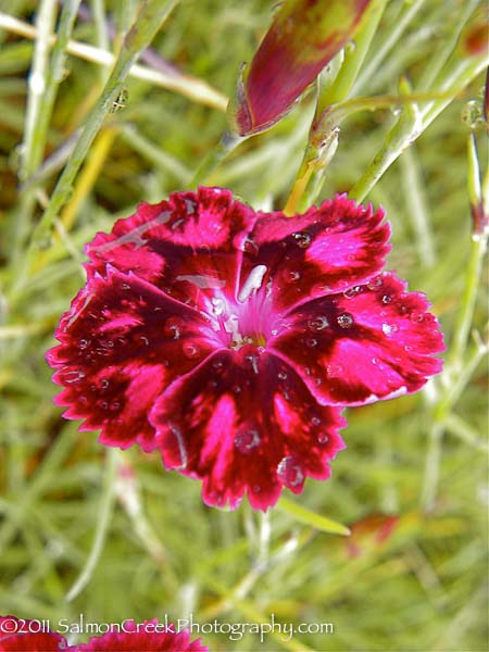 Dianthus Unique