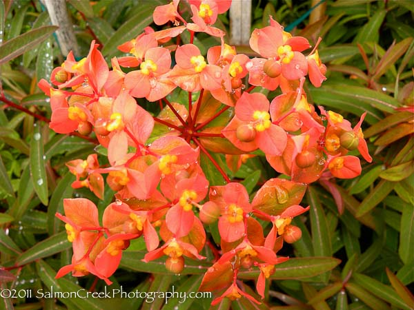 Euphorbia griffithii Great Dixter
