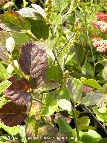 Fothergilla major Mount Airy