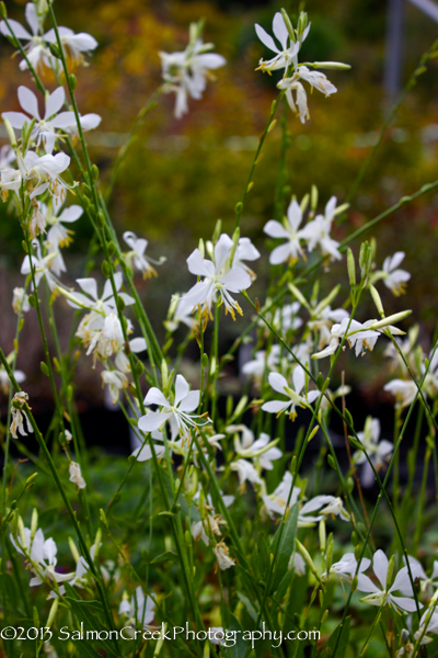 Gaura lindheimeri 'So White'