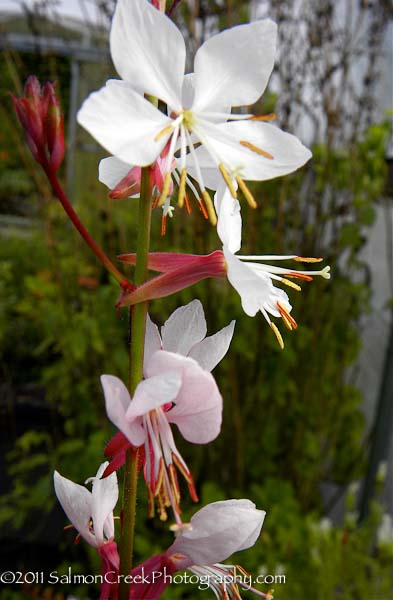 Gaura lindheimeri Summer Breeze