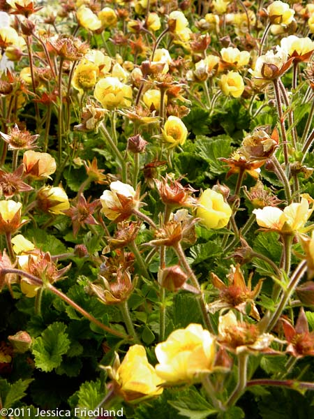 <i>Geum</i> &#8216;Beech House Apricot&#8217;