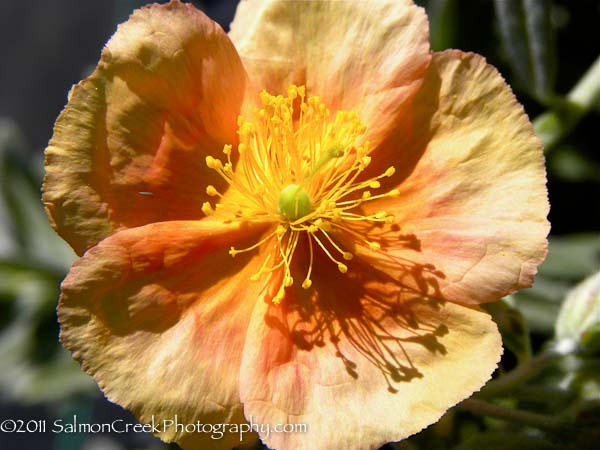 Helianthemum  Cheviot