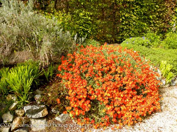 <i>Helianthemum</i> &#8216;Henfield Brilliant&#8217;