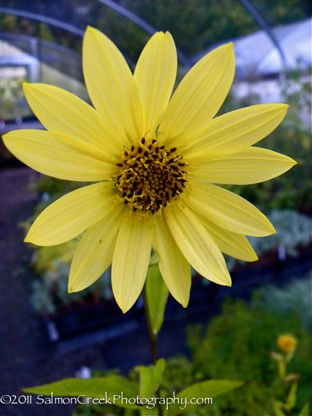 Helianthus laetiflorus Lemon Queen