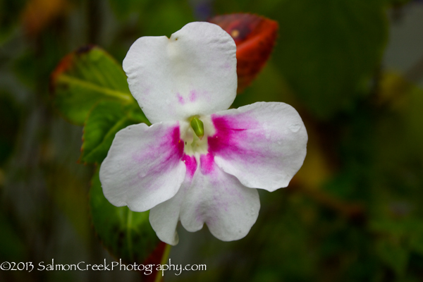 Impatiens sodenii 'Flash'
