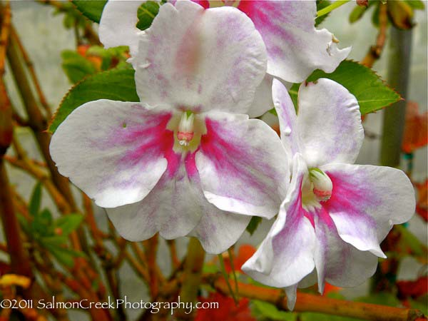 Impatiens sodenii Flash