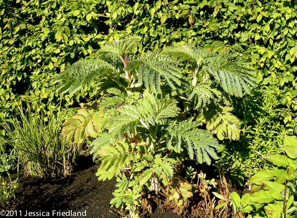 <i>Melianthus major</i>