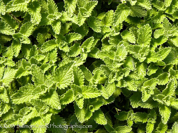 Nepeta Six Hills Giant