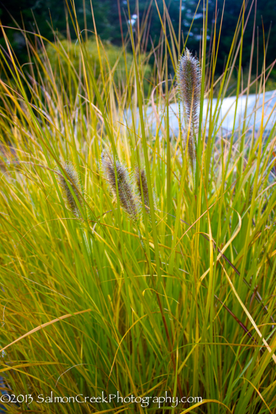 Pennisetum massaicum Red Buttons