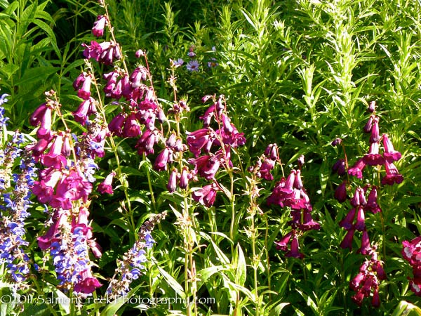 <i>Penstemon</i> &#8216;Raven&#8217;