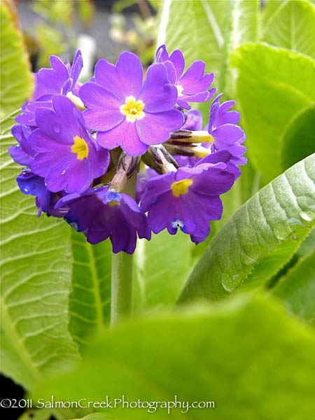 Primula denticulata Blue Selection