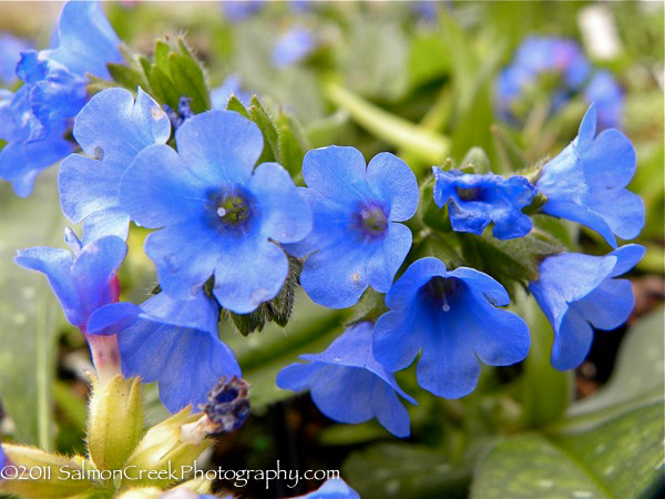 Pulmonaria Benediction