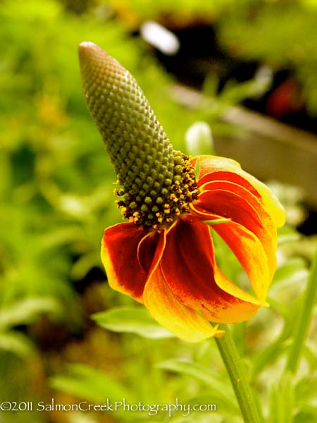 ratibida columnifera f pulcherrima �red midget� at