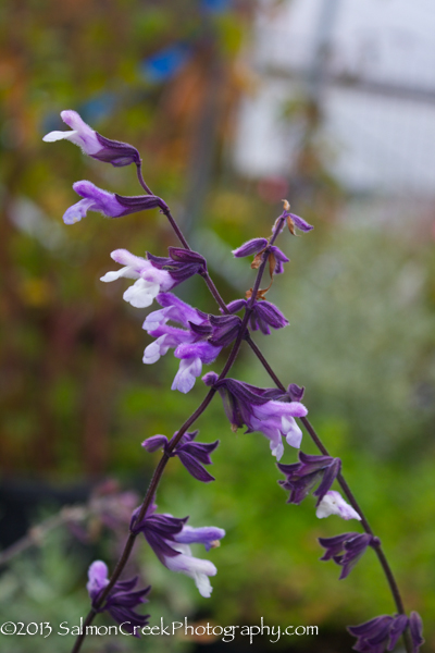 Salvia Phyllis' Fancy