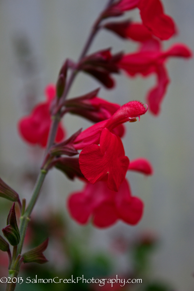 Salvia Silke's Dream