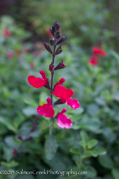 Salvia microphylla Wild Watermelon
