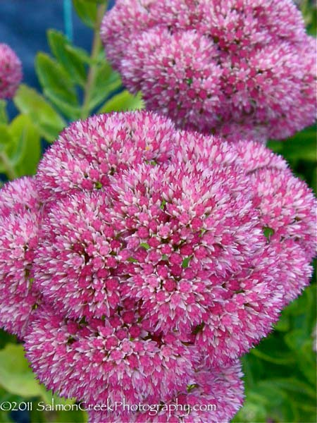 Sedum spectabile Indian Chief