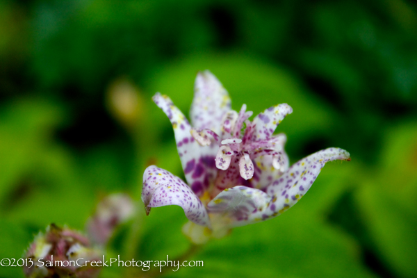 Tricyrtis hirta 'Moonlight'