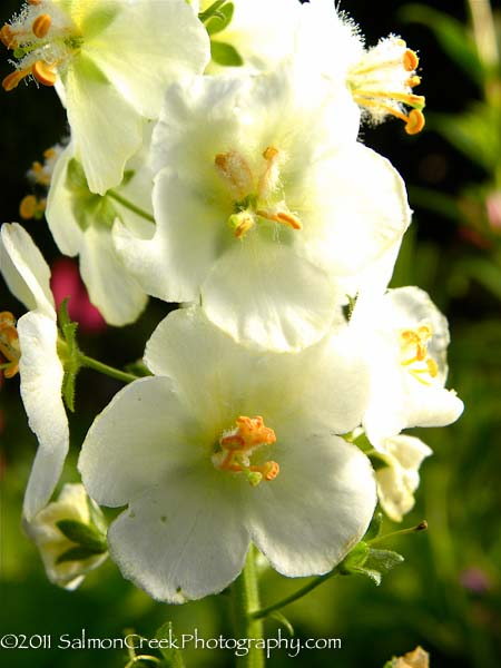 Verbascum phoeniceum 'Flush of White'