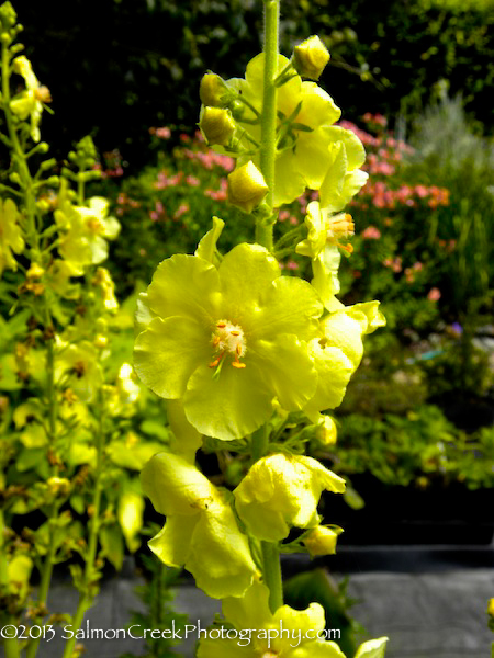 <i>Verbascum</i> &#8216;Gainsborough&#8217;