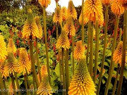 Kniphofia galpinii Orange Flame