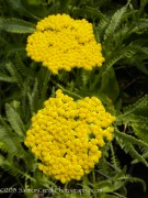 <i>Achillea</i> x 'Coronation Gold'