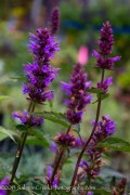 <i>Agastache</i> 'Purple Haze'